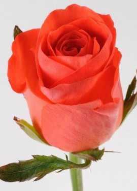 Coral rose variety or Red Wow Wow
