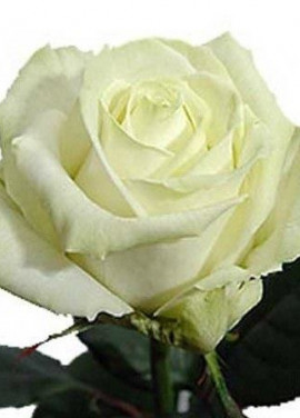White roses by pieces