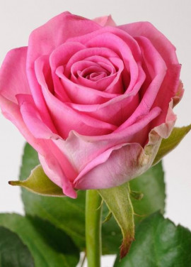 Pink roses by pieces