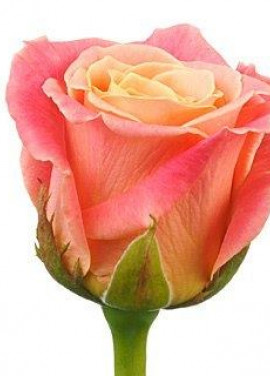 Peach roses by pieces