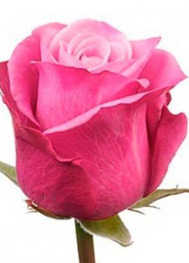 Pink roses Deep Water