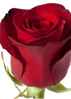 Red rose Freedom