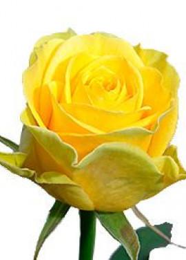 Yellow rose Illios